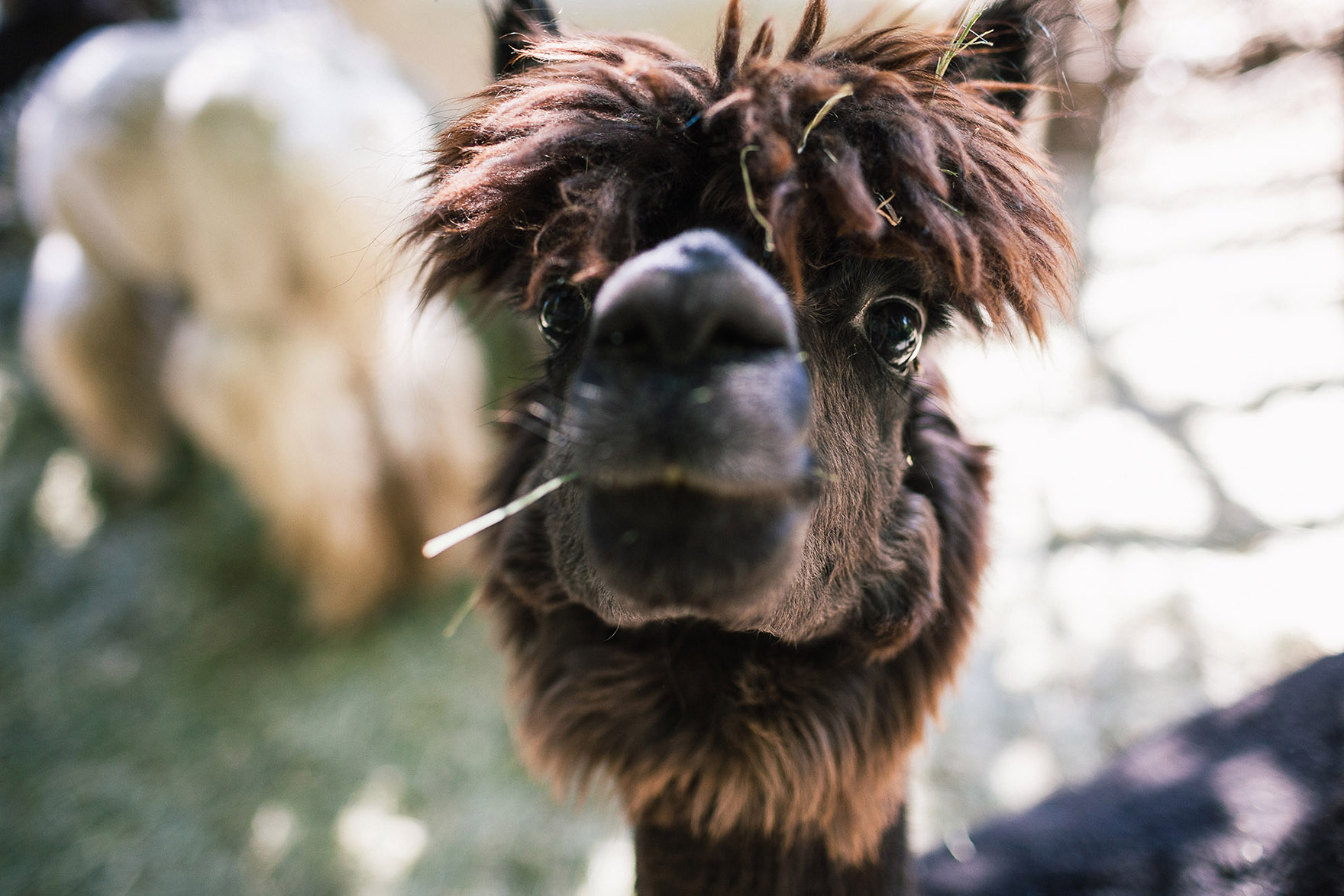 alpaca llama smiles for the camera fuzzy and furry at the old alpaca llama farm now owned by the steve wozniak apple family redwood ridge estate wedding venue the perfect santa cruz redwood wedding venue los gatos wedding venue petting zoo farm